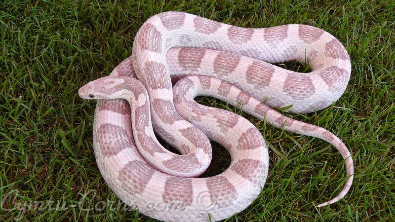 Lavender Corn Snake Anery lavender cornsnake