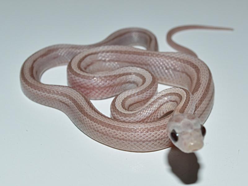 Hypo lavender stripe corn snake