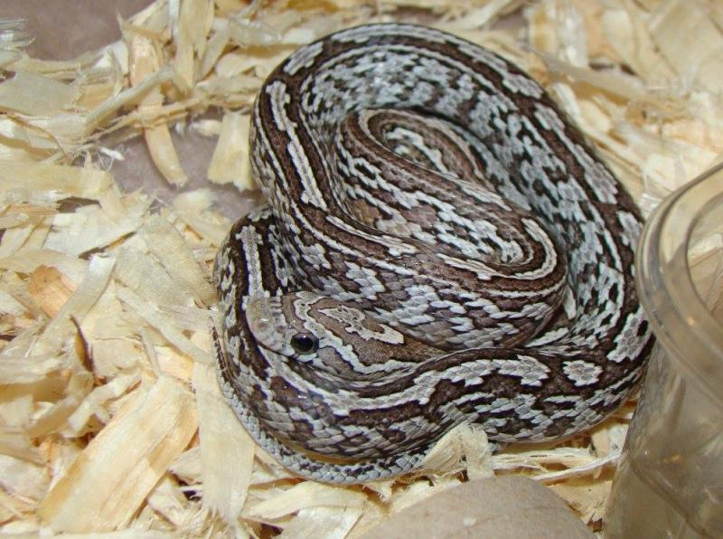 anery tessera corn snake - photo #26