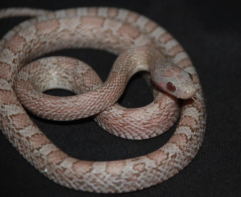 lava corn snake - photo #44