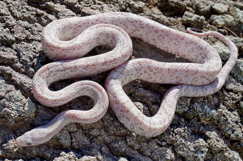 lava corn snake - photo #35