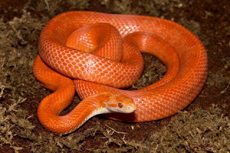 Lava Corn Snake Baby Corn Snake Diffused Lava