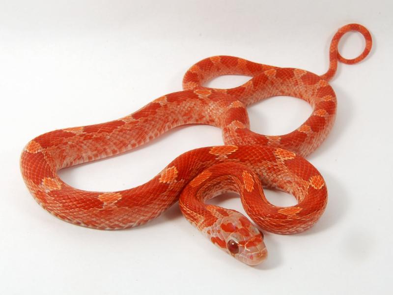 lava corn snake - photo #20