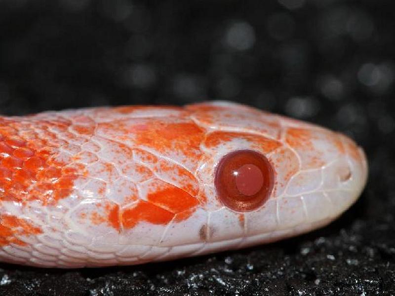 lava corn snake - photo #37