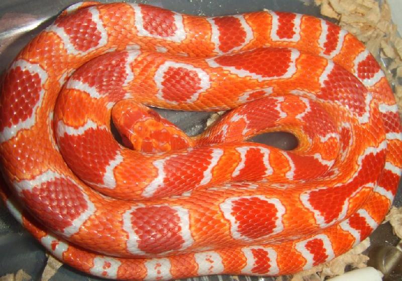 Fluorescent Orange Corn Snake Ians Vivarium - Fluore...
