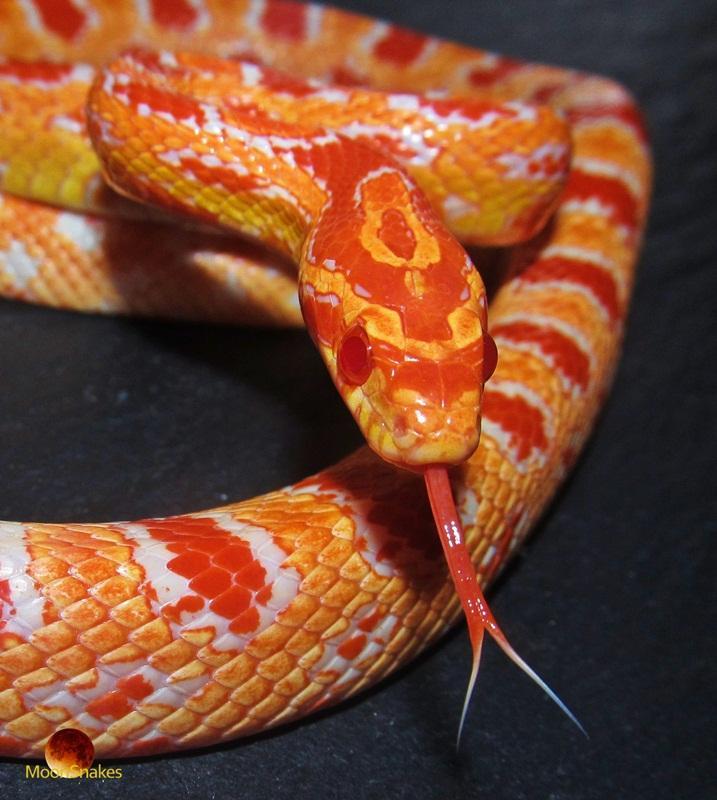 Fluorescent Orange Corn Snake Ians Vivarium :: Fluor...