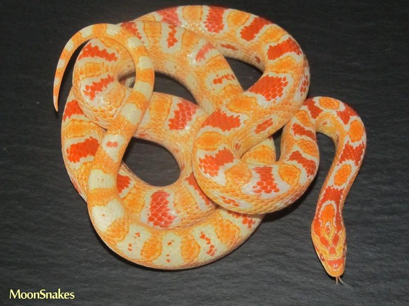 Fluorescent Orange Corn Snake Orange Corn Snake | ww...