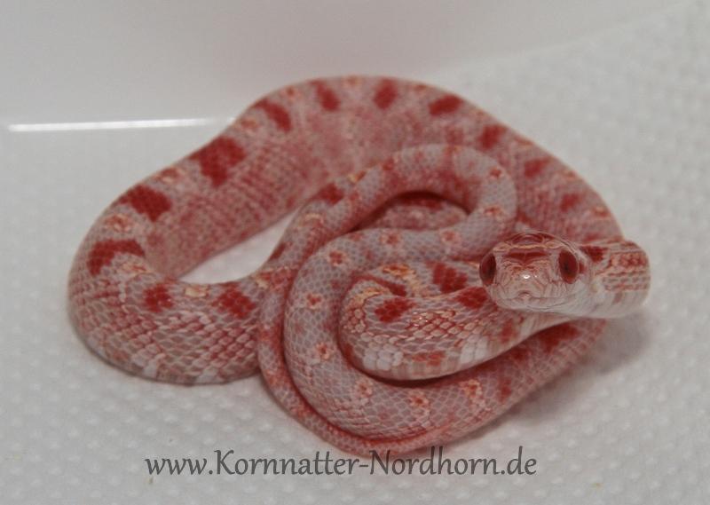 Fluorescent Orange Corn Snake Ians Vivarium -...