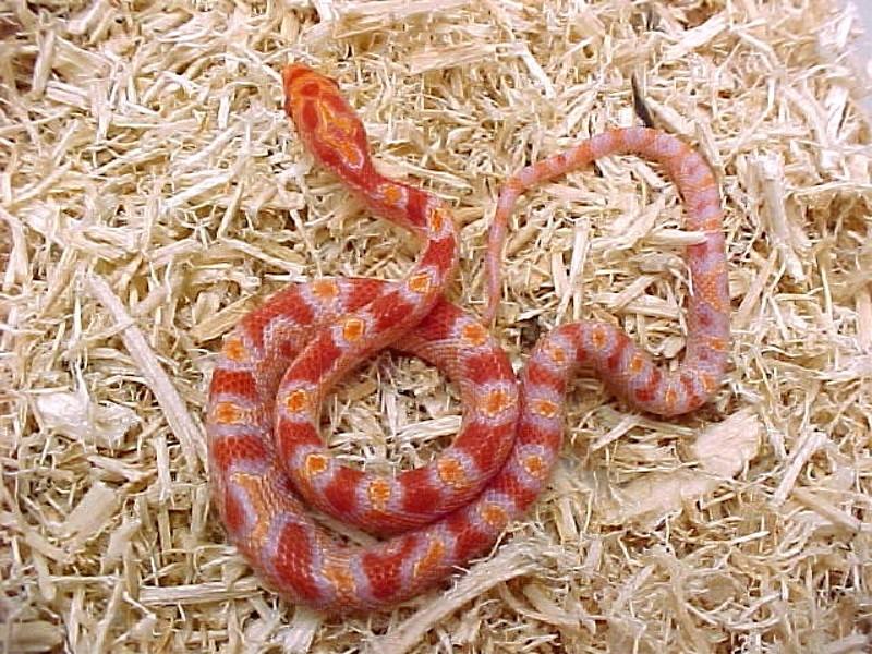 Fluorescent Orange Corn Snake Fluorescent Orange Hatchling