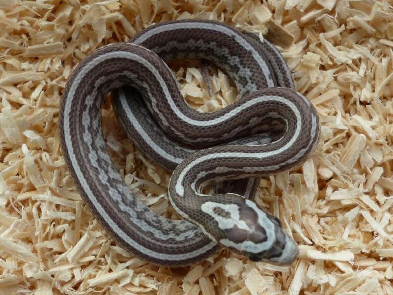 Pics For > Tessera Corn Snake