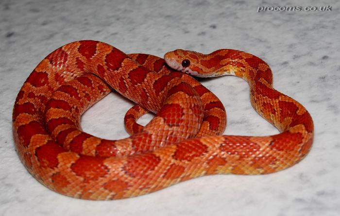 lava corn snake -#main