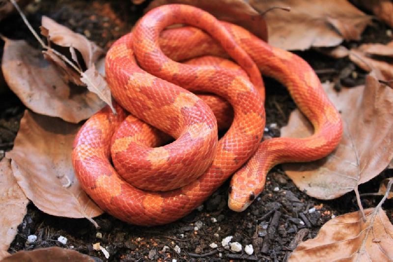 lava corn snake - photo #34