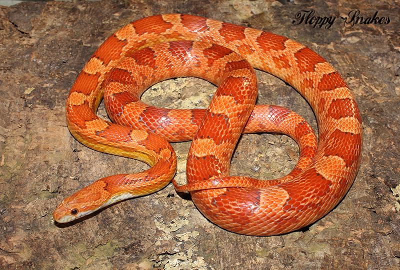 lava corn snake - photo #6
