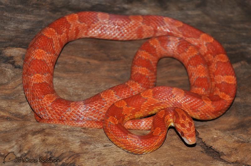 lava corn snake - photo #4