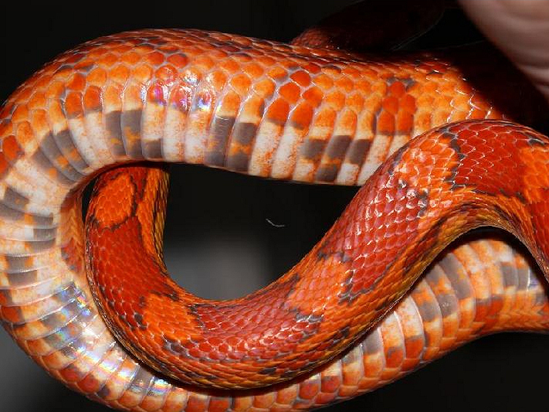 lava corn snake - photo #13
