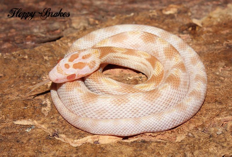 lava corn snake - photo #23