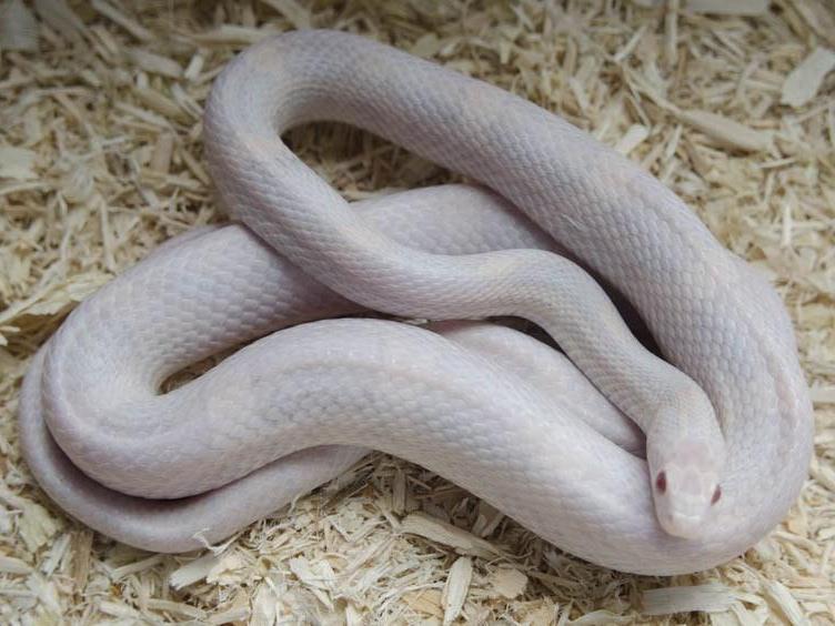 Lavender Corn Snake Lava lavender adult