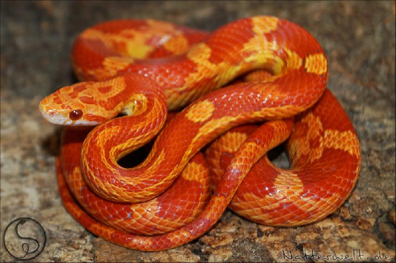 lava corn snake - photo #9