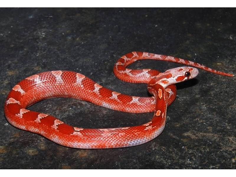 lava corn snake - photo #10