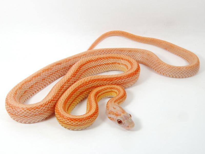 lava corn snake - photo #33