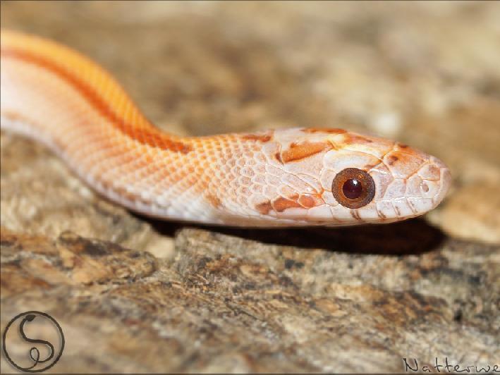 lava corn snake - photo #45