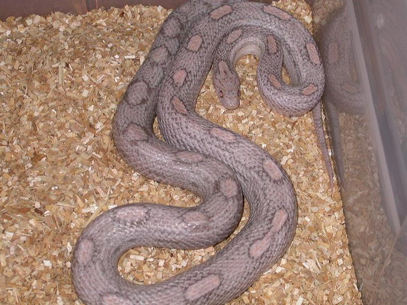 Lavender Corn Snake Lavender motley adult