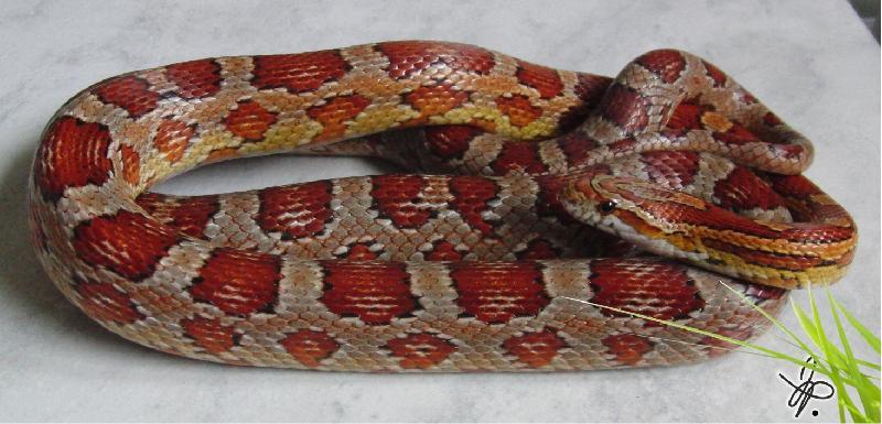 classic corn snake - photo #11