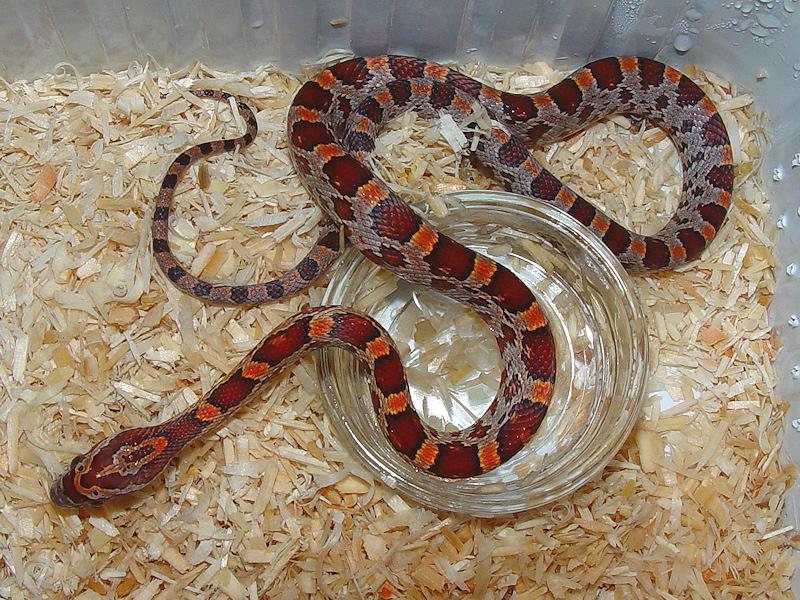 classic corn snake - photo #15
