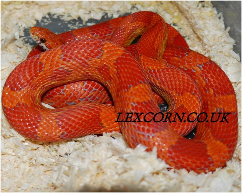 lava corn snake - photo #26