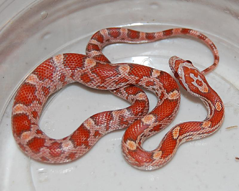 lava corn snake - photo #7