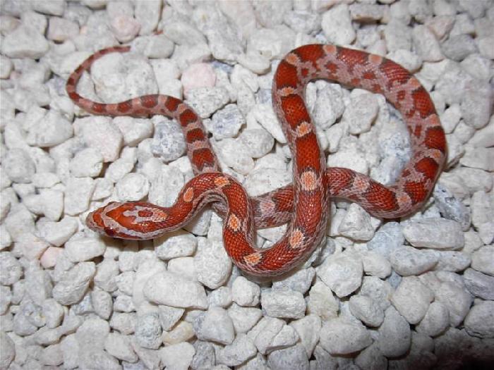 lava corn snake - photo #11