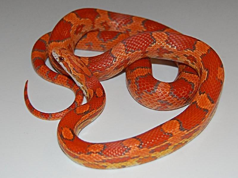 lava corn snake - photo #8