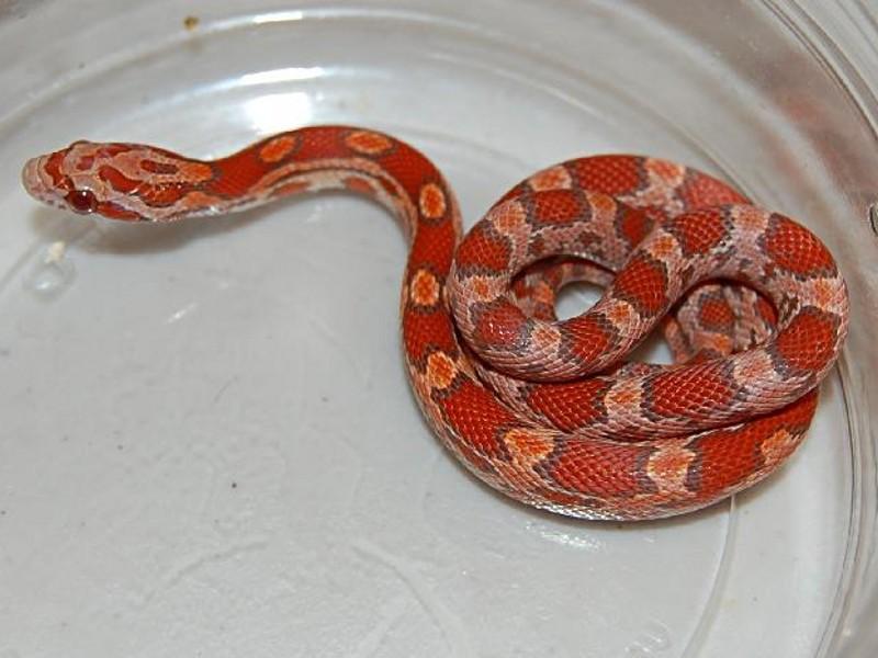 Lava Corn Snake Baby Lava Corn Snake Okeetee Lava