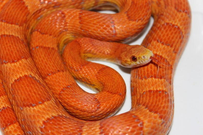 lava corn snake - photo #38