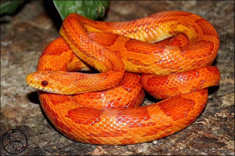 lava corn snake - photo #15