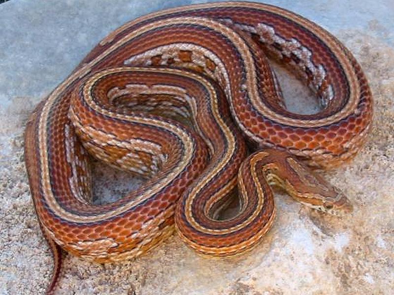 Tessera corn snake