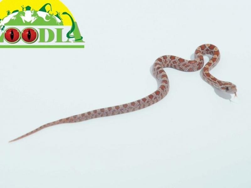 lava corn snake - photo #46