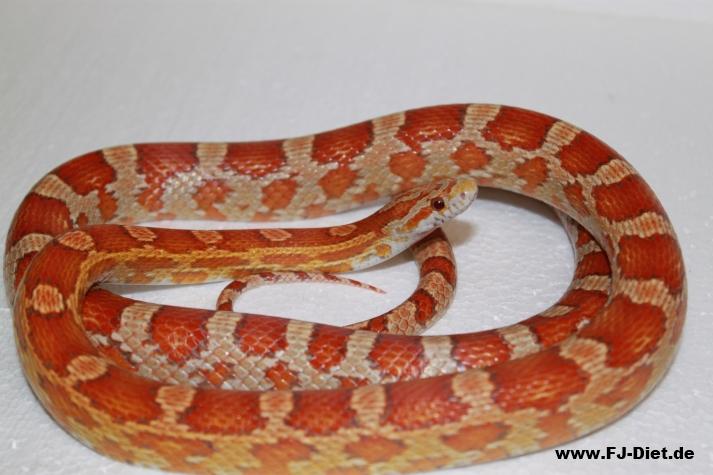 Ultramel Corn Snake