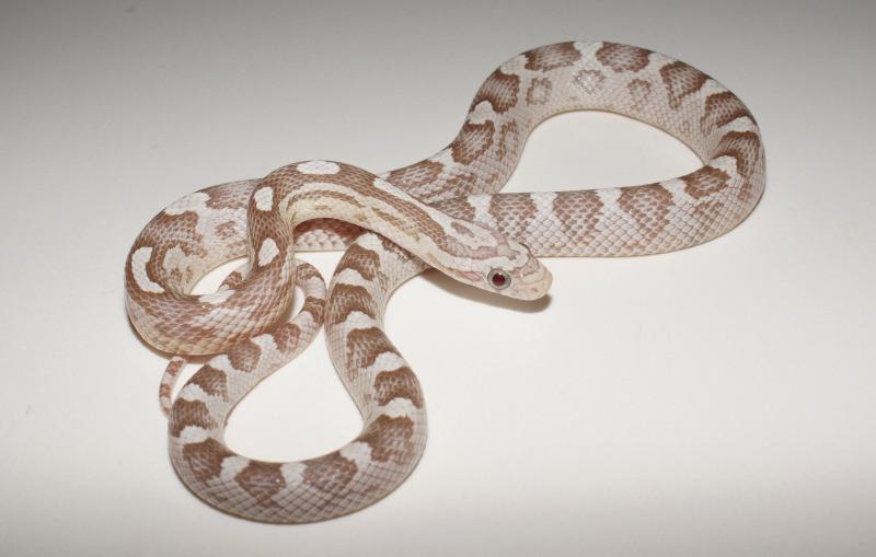Amelanistic Motley Corn Snake | www.imgkid.com - The Image ...