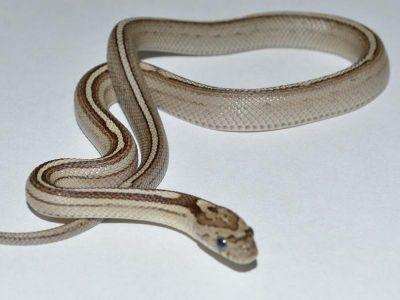 anery tessera corn snake - photo #24