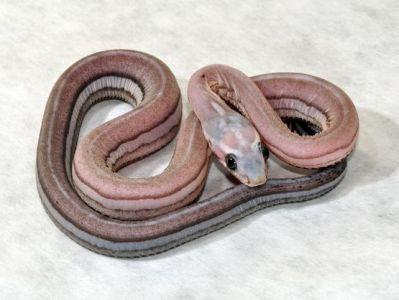 anery tessera corn snake - photo #31