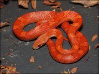 lava corn snake - photo #28